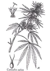 02 01 Cannabis Sativa Linne Chanvre Cultive Chanvre Hemp