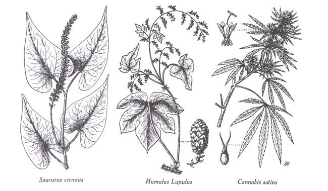 00 02 Urticaceae Urticacees Saururaceae Saururacees Figures 34