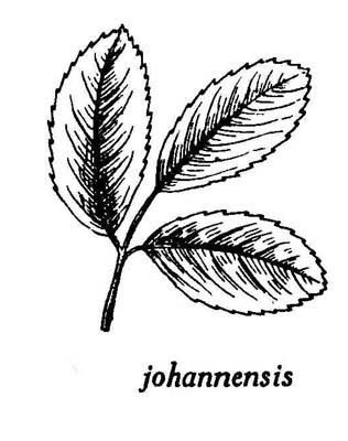 10 03 rosa johannensis fernald rosier du fleuve saint jean rosier sauvage glantier bank - Dessin de rosier ...