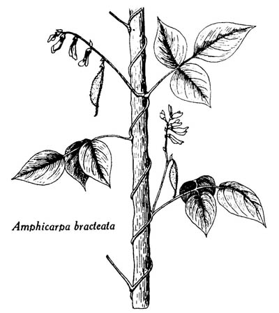 09 01 Amphicarpa Bracteata Linné Fernald Amphicarpe